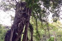 パワースポット 「エカ・カリヤ植物園のガジュマル」