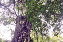 パワースポットと言われるガジュマルの樹in エカ植物園ブドゥグール植物園の中にあります地元の方達の信仰対象です聞くところによりますと その人の厄災を払い除け望みへ近づけるという樹少し遠いですがご利益を得るには何かと引き換えになりますかね⋯⋯帰りにはジャティルウィ世界文化遺産にも寄れますので1日かけて行く価値あるかも?!#バリ島ガイド #bali #バリ島 #バリ