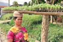 とおがらしの苗を運んでますまさかのフリーハンドですバリの女性の頭にもの載せるスキルは世界トップクラス️写真撮らせてくださいと言ったら「恥ずかしい~~~」と言ってました#バリ #おもてなしバリで検索 #バリ島 #bali #フリーハンド