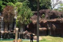 バリサファリのハリマオ(タイガー)ショー🐅木に登るタイガー泳ぐタイガーニャーとするタイガーが観れます️お子さんからお年寄りまで楽しめるバリサファリからウブドへのツアーなどもご用意しております#bali #バリ #balisafari