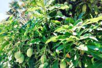 バリ島マンゴーの季節がやってきました熟れてあまーいマンゴーが激安ですジュースにしてもウマー(*´∀`)#bali #バリ