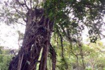 バリ島最強のパワースポットと言われているガジュマルの木プロポーズをされた…念願の会社から内定がもらえた…別れた彼女と元サヤに…などなと不思議な後日談がたくさんある不思議な木です!#バリ #バリ島旅行 #バリ島 #バリ島日本語ガイド #バリ島オプションツアー #バリ島ガイド付きプライベートカーチャータ #バリ島パワースポット #ブドゥグール #パワースポット