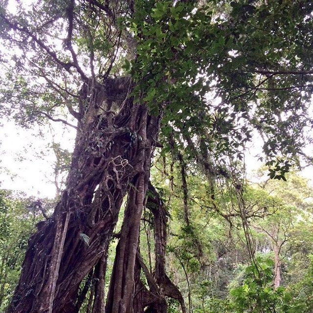 バリ島最強のパワースポットと言われているガジュマルの木プロポーズをされた...念願の会社から内定がもらえた...別れた彼女と元サヤに...などなと不思議な後日談がたくさんある不思議な木です!#バリ #バリ島旅行 #バリ島 #バリ島日本語ガイド #バリ島オプションツアー #バリ島ガイド付きプライベートカーチャータ #バリ島パワースポット #ブドゥグール #パワースポット